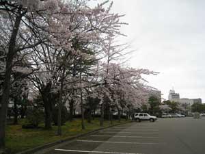 桜の思い出
