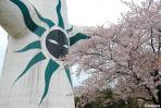 太陽の塔(の背中)と桜