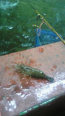 台湾 エビ釣り