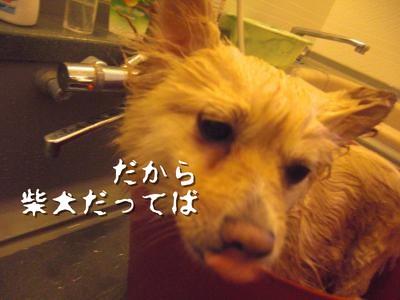 カプコ柴犬2