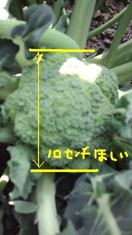 小さいブロッコリー
