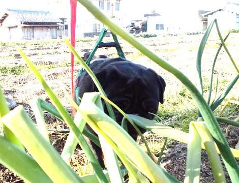 玉葱の生育見守りぱぐ