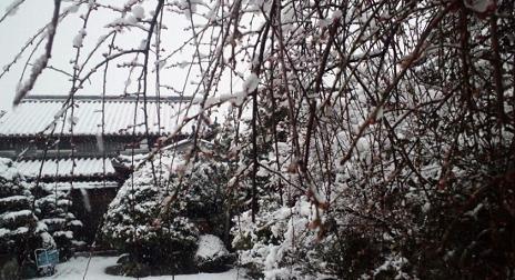 雪に咲いてない梅