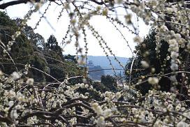 梅と掛川城