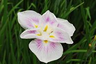 花ショウブ 3