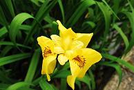 花ショウブ 2
