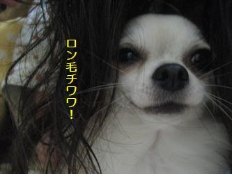 ロン毛チワワ!