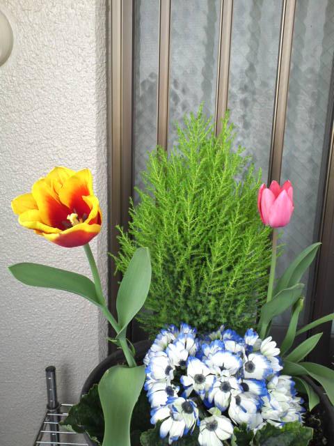 t_tulip.jpg