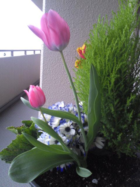 tulip3.jpg