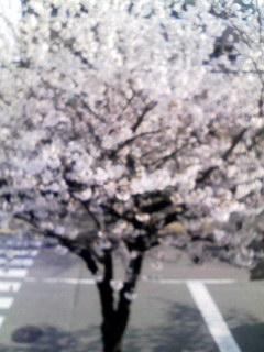 自宅窓から見える桜(2008年4月2日7時39分撮影) 20080403223901