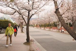 関学前 学園花通り 桜並木