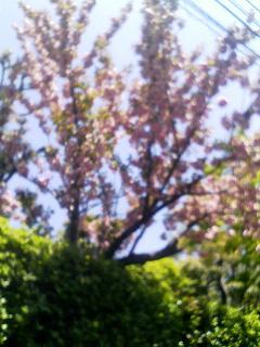 八重桜 甲東園