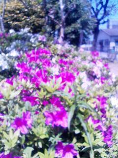 躑躅 神祇官公園