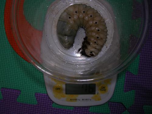ヘラヘラ幼虫76