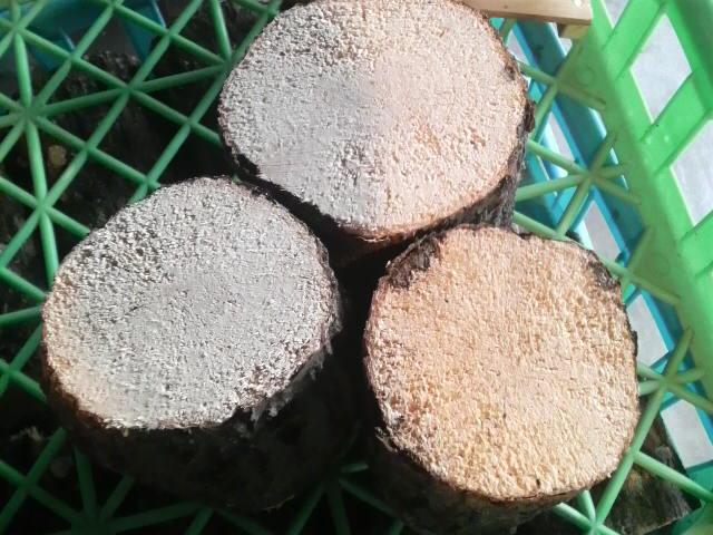 1月産卵木