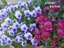 花壇ビオラ
