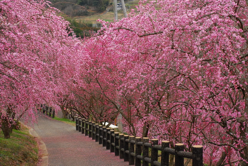 梅の道-2