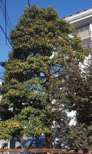 もちの木1
