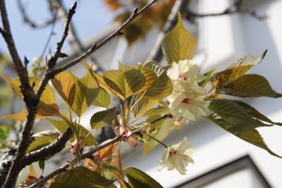 2010年 右近桜