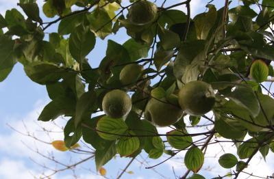 2010.11.20 檸檬