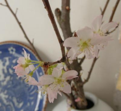 2011.2.16  ケイオウ桜