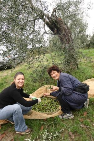 olive+picking.jpg
