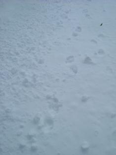 タヌキの足跡