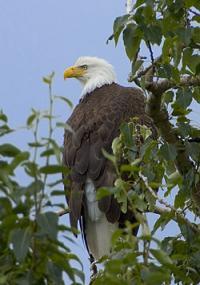 250px-Haliaeetus_leucocephalus-tree-USFWS_convert_20110924090132.jpg