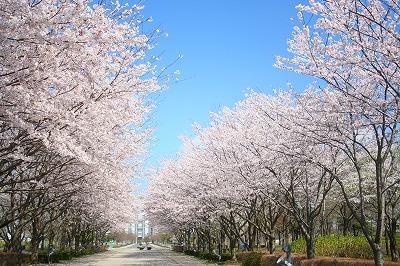 桜並木は少し散り始め。