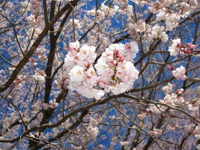 桜、全体のうち1、2本だけ満開。
