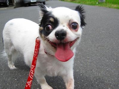 3回目、マーブルとお散歩へ。笑顔がいい。