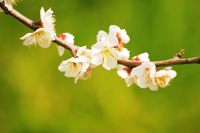 plum-blossom_beiz_jp_S08486,無料うめ