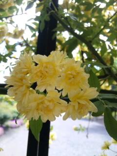 SH3E00740001,バラ黄色モッコウアップ