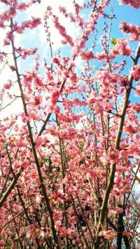 ちくちく村の梅の木3#9829;