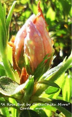 新しいバラの蕾#9829;