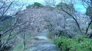 冬桜のアーチ