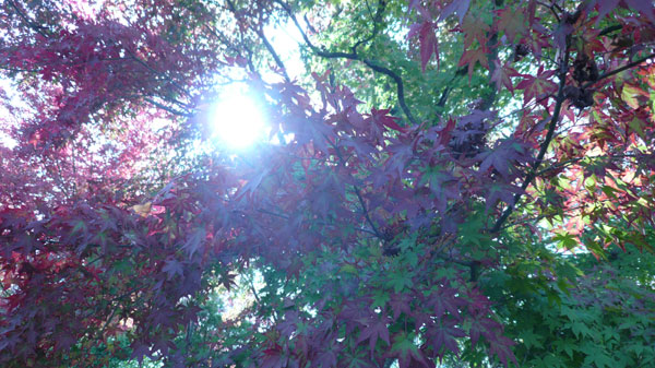 太陽と紅葉