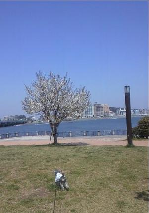 海と桜ともも