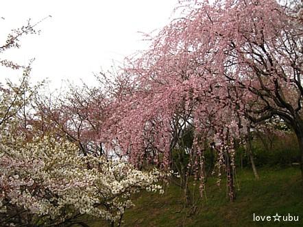 しだれ桜♪①