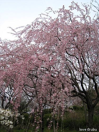 しだれ桜♪②