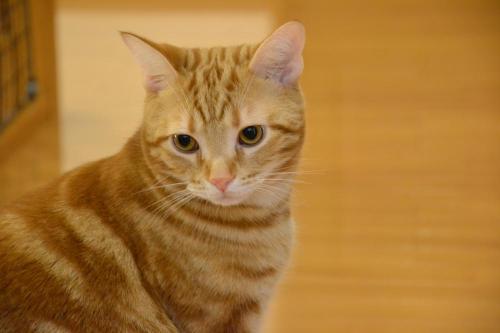 琥珀色の猫