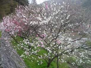 月川温泉の花桃1