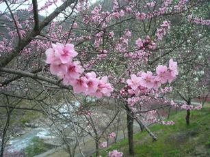 月川温泉の花桃2
