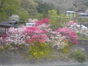昼神温泉付近の花もも1