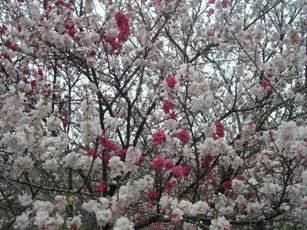 昼神温泉付近の花モモ2