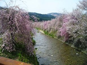 臥龍桜付近のしだれ桜