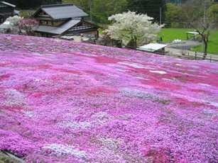 園田家の芝桜1