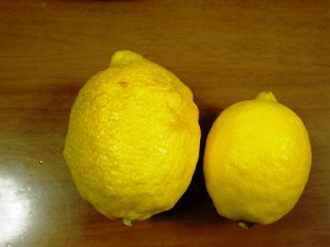 特大レモンとちび福岡さんレモン