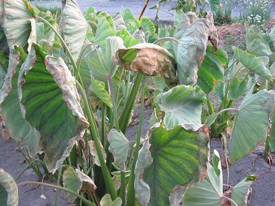 猛暑続く 002 10 里芋の葉も枯れて
