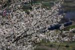 桜にピントを持ってきて~